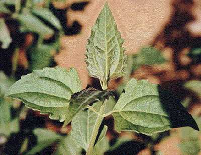 Biological Control and Management of Eupatorieae Weeds, IOBC-Global Working Group